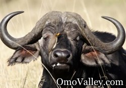 African or Cape Buffalo in Omo Valley, Ethiopia