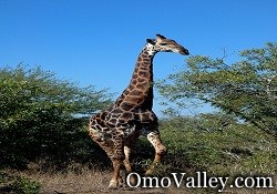 Giraffe in the Lower Omo Valley