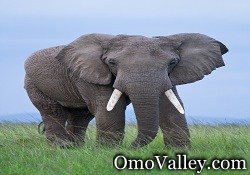 Male African Elephant in Ethiopia, Omo National Park