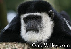 The Colobus Monkey in Kenya