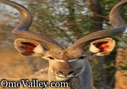 Greater Kudu in Southern Ethiopia