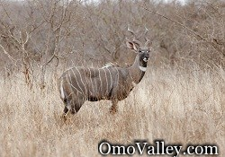 Lesser Kudu in Omo Valley