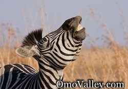 Zebra in the Lower Omo Valley
